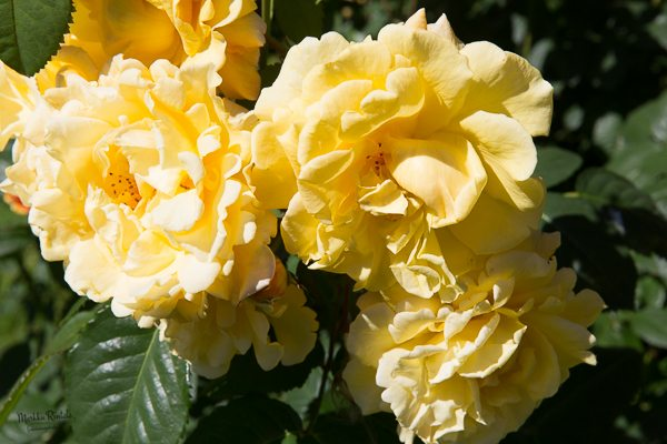 Ruusut etualalla